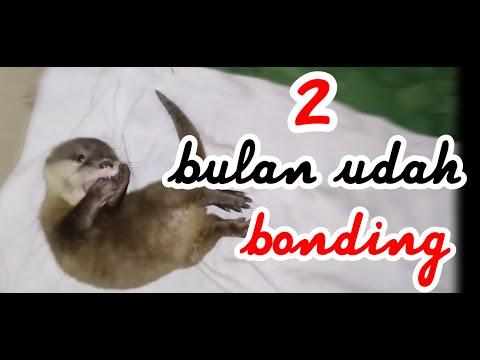 Video Cara Merawat Otter Umur 2 Bulan