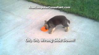 Dwarf German Shepherd Playing With Frisbee