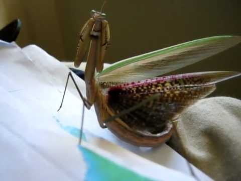 Praying Mantis Showing It S Beautiful Coloured Wings Youtube