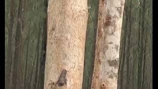 पेडों पर आधारित खेती या कृषि वानिकी - Agro forestry