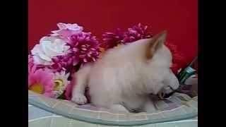 望月ドッグスタジアム: http://www.mochizukidogstadium.jp/ 犬種 豆柴...