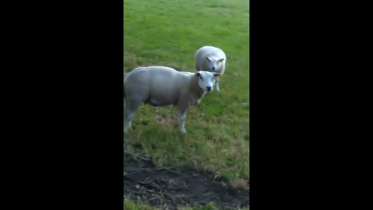 Coughing Sheep