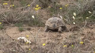 Пески Майн Кум.  Грибы, черепахи, саксаул.