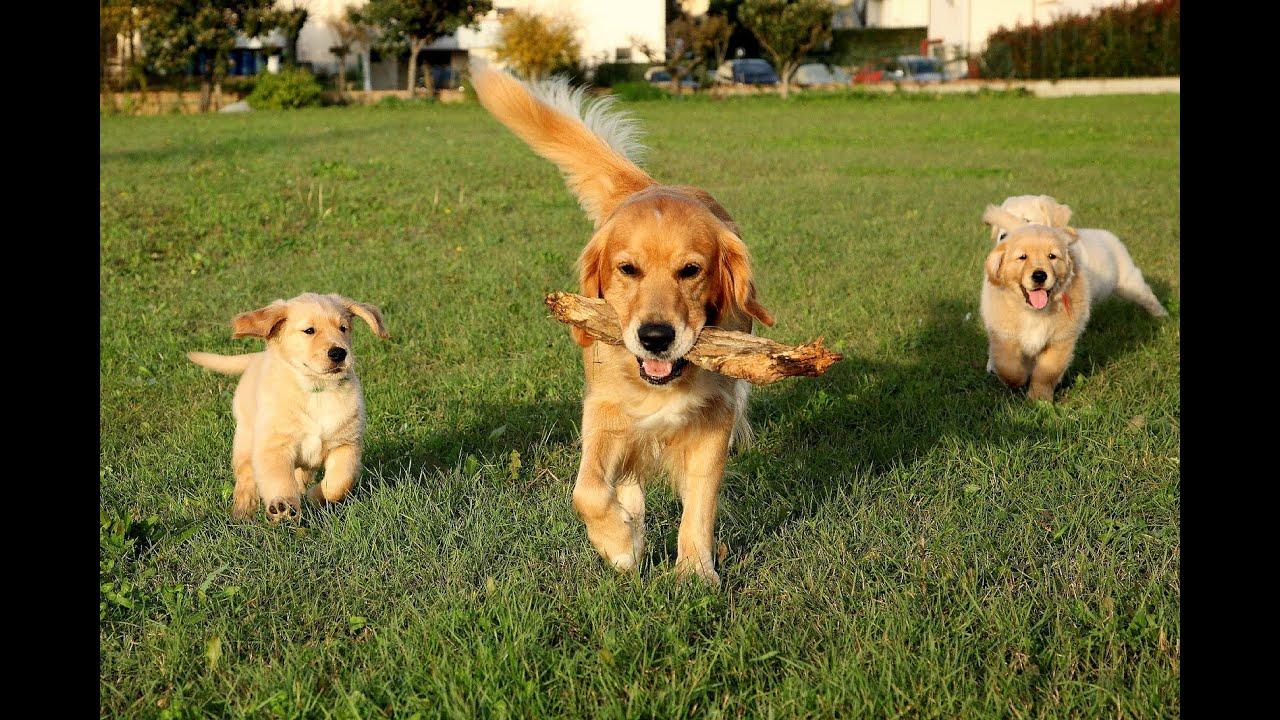 """Résultat de recherche d'images pour """"Top 5 des chiens les plus intelligents"""""""