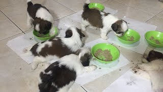 Shih Tzu Puppies First meal