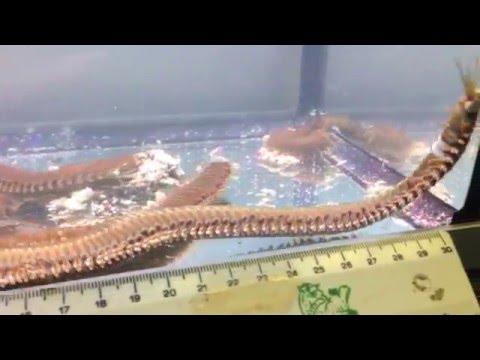 Monster 'Bobbit' worm (Eunice aphroditois) discovered at Maidenhead Aquatics @ Woking