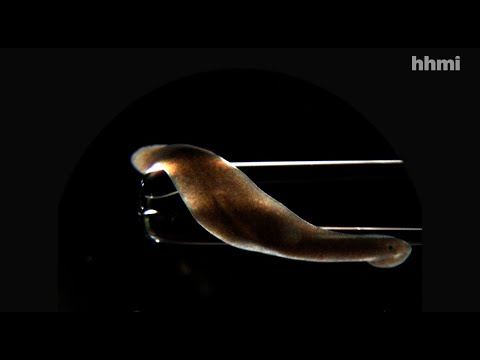 Searching for the Source of Planarians' Regenerative Powers