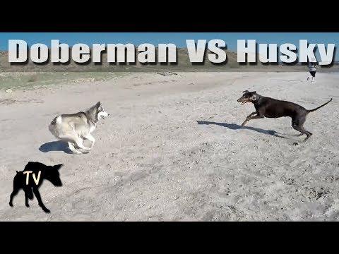 Doberman vs Husky Fiesta Island   Dog Park Vlogs