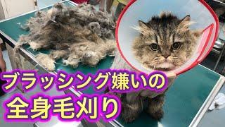 【長毛猫の無麻酔毛玉取り】激オコ猫の全身毛刈り、日頃のブラッシングは本当に大事です。