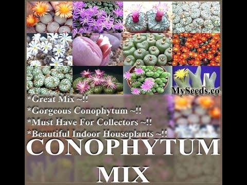 Conophytum Species Mix Seeds - Cactus Mix Seeds on  www.MySeeds.Co