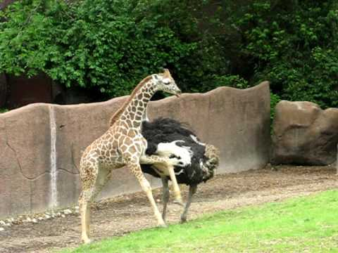 Thumbnail: An ostrich and baby giraffe play tag