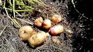Картошка в соломе (сене)(Это видео создано с помощью видеоредактора YouTube (http://www.youtube.com/editor), 2015-07-27T11:47:03.000Z)