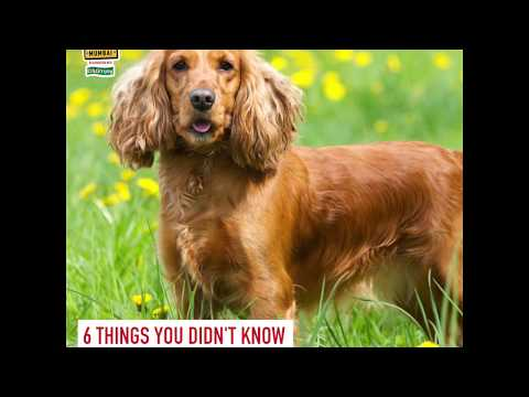 Cocker Spaniels at Royal Canin Discover Dogs at Pet Fed 2019!