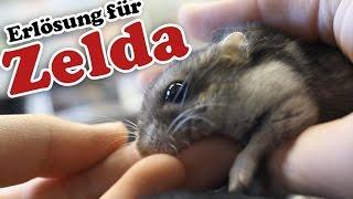 Zelda wird eingeschläfert (Letzter Tag im Hamsterleben)