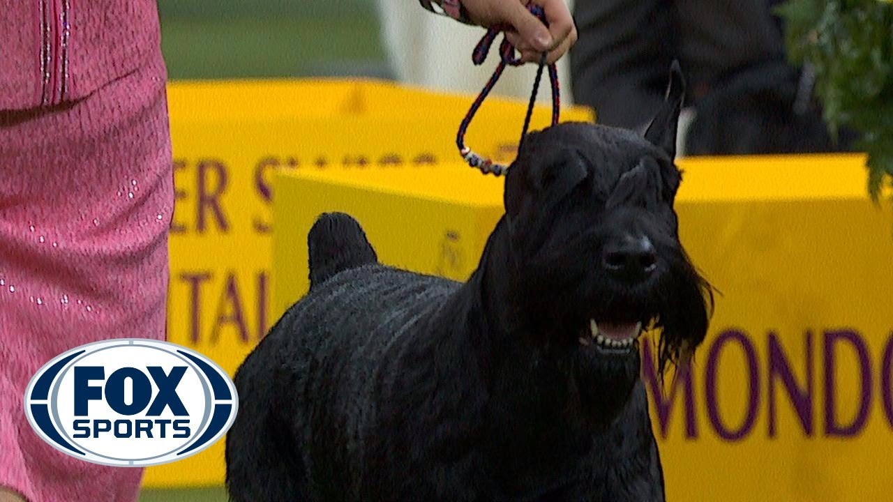 Ty the Giant Schnauzer wins the Working Group | WESTMINSTER DOG SHOW (2018) | FOX SPORTS #1