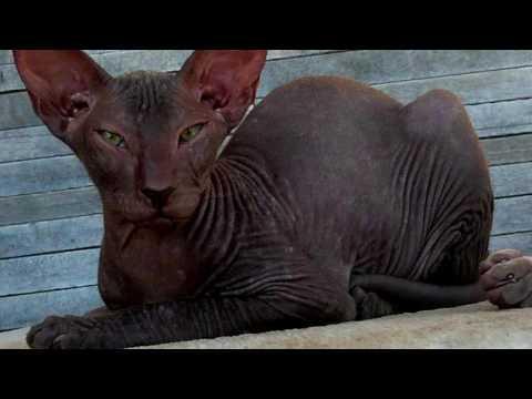 Сибирская кошка описание, фото, стандарт, характер