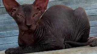 Порода кошек. Петерболд. Петербургский сфинкс.Порода российских бесшёрстных домашних кошек