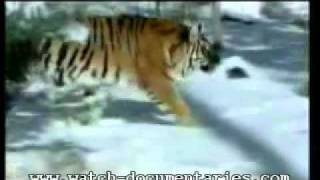 Tiger of the snow, 13 feet long 900 pounds Siberian Tigers