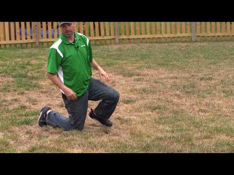 Fungus Or Grub Damage?   Pro Turf Lawn Service