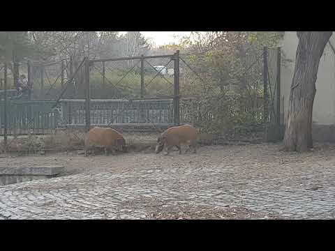 Two males of Red River hog