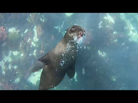 Cape Town seal snorkelling at Duiker Island, Hout Bay, South Africa