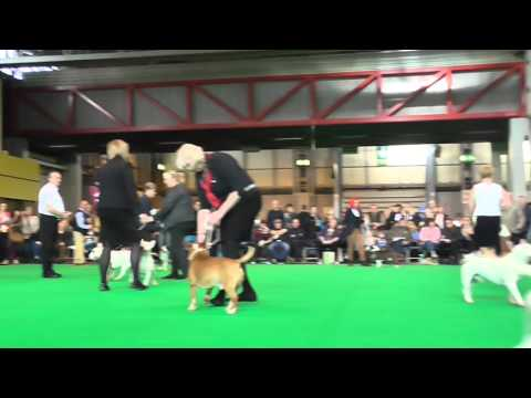 Open Dog Miniature Bull Terrier Crufts 2016 Judge Elaine Clark (FourHeatons)