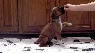 Boxer Puppies Turn 6 Weeks Old