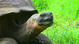 Galápagos Giant Tortoises in the Verdant Highlands