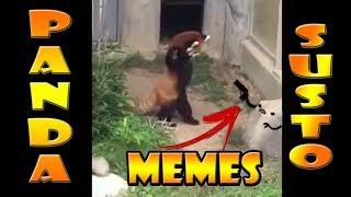Panda Vermelho assusta com a pedra