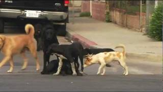 Repeat youtube video Dogs on street chase female in heat