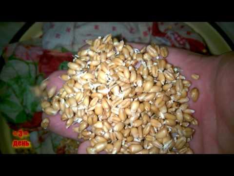 Самогон из пшеницы / Проращивание пшеницы для браги  / Часть 1