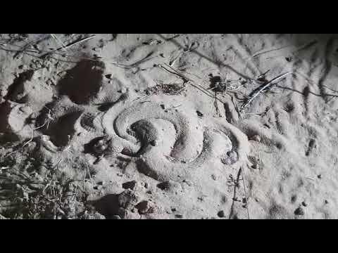 סרטון התחפרות עכן קטן (Cerastes vipera)