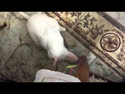 White oriental cat playing
