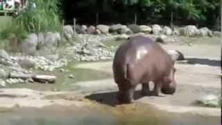 Pierdnięcie Hipopotama