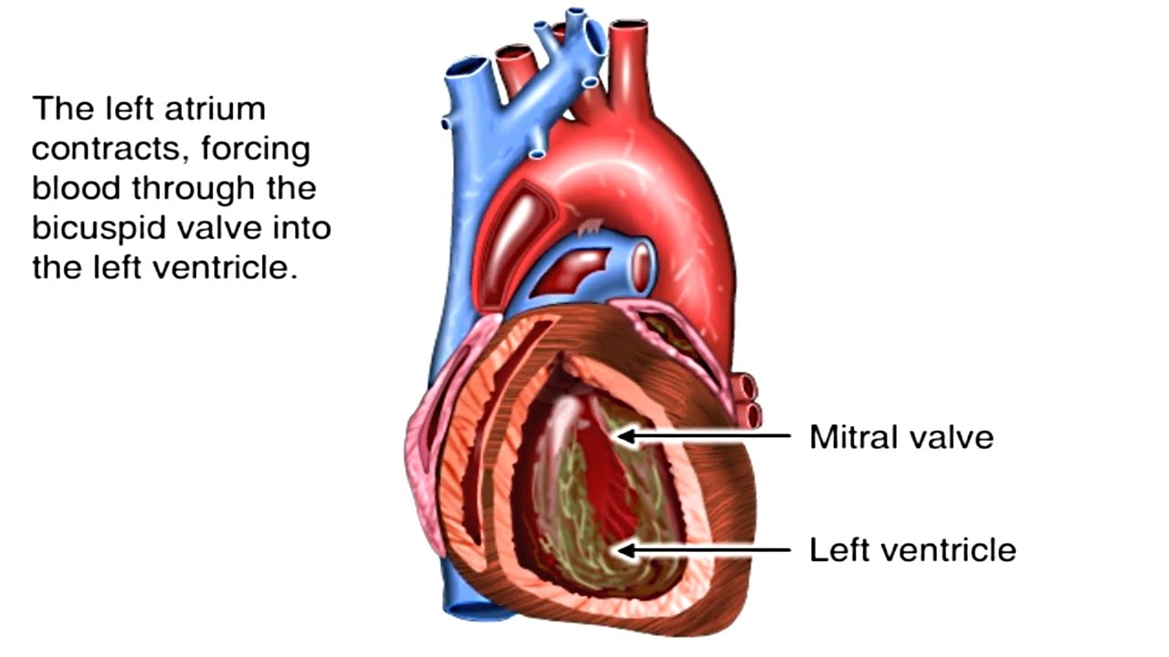 How Heart Works Animation. Pathway of Blood Flow Tutorial Video ...
