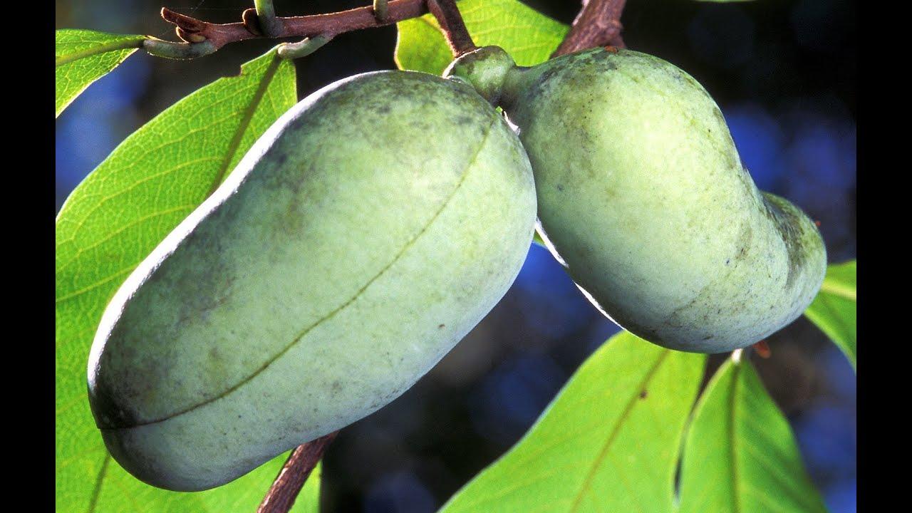 fruit trees paw paw fruit