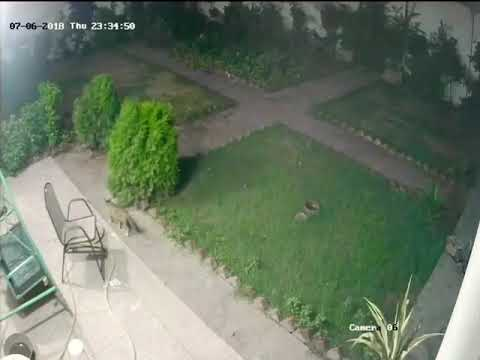 Dogs attack the cat cctv at lahore 2