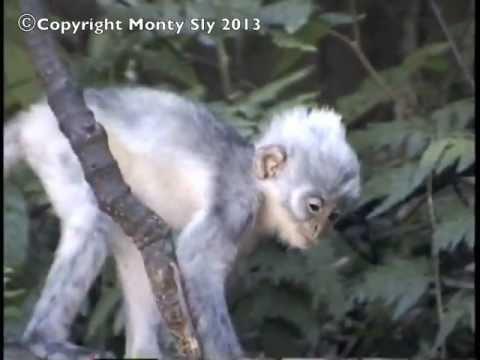 Leaf Monkeys Play