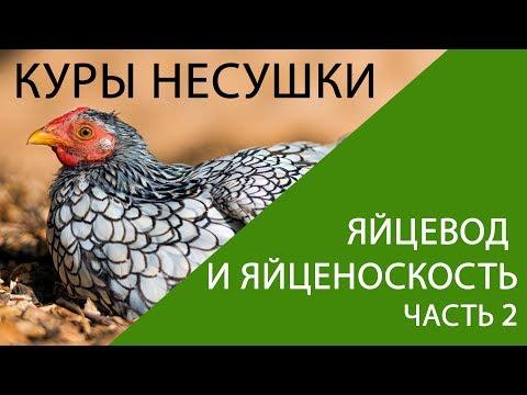КУРЫ НЕСУШКИ: яйцевод у курицы несушки и секреты яйценоскости (часть 2)