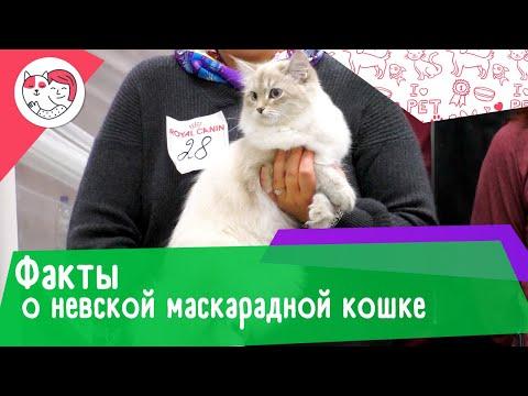 7 необычных фактов о невской маскарадной кошке