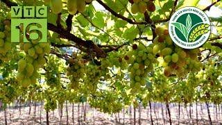 Kỹ thuật trồng cây nho cho quả sai trĩu cành I VTC16