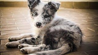 Cheza - 3 Months Border Collie Puppy!