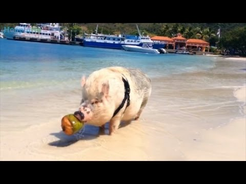 Couple Buys Teacup Pig Who Surprisingly Becomes 250-Pound Traveling Pet