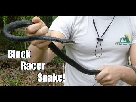 The Black Racer Snake! (Facts + Bite Test)