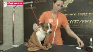 Груминг выставочных собак. Урок 2. Уход за гладкошерстной собакой