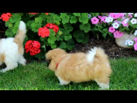 Shichon Puppies For Sale Moses King 3