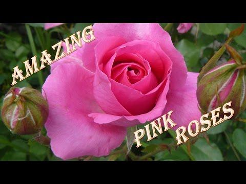 Розовые #розы. Прекрасные #цветы.