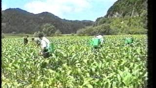 China Potato Production (Telefood 1998)