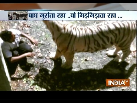 Watch: Horrid Scene Of A White Tiger Ripping Apart Foolish Youth - India TV
