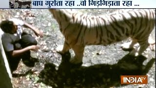 Watch : Horrid Scene Of A White Tiger Ripping Apart Foolish Youth - India TV